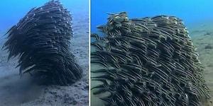 Yırtıcı Hayvanlardan Korunmak İçin Tek Bir Canlıymış Gibi Hareket Eden Çizgili Yılan Balıkları!