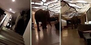 Sabah Saatlerinde Girdiği Otelde Misafirlere Kısa Süreli Bir Şok Yaşatan Fil