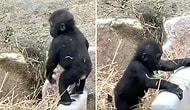 Kendi Başına Bir Güzel Eğlenirken Annesi Tarafından Engellenen Yavru Goril