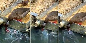 Sudaki Balıkları Besleyen Ördeğin İzlerken İçinizi Isıtacak Muhteşem Görüntüleri!