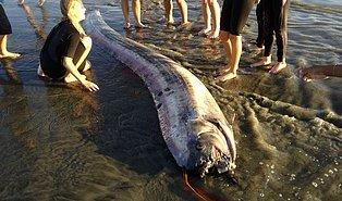 Japonya'da Ortaya Çıkan Felaket ve Tsunami Habercisi Kral Ringa Balıkları Korku Saçıyor