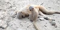 Vefat Eden Annesini Umutsuzca Uyandırmaya Çalışan Maymun :(