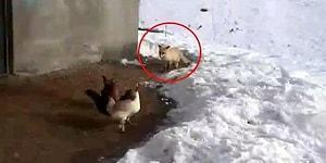 Tavuklarını Yemek İsteyen Tilkiyle Sohbet Eden Adam: 'Bunlar Bizim, Yedirtmeyiz'