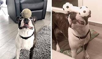 Denge Konusunda İnanılmaz Bir Yeteneğe Sahip Olan Köpeğin İzlerken Hayran Kalacağınız Görüntüleri!