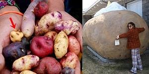 Patates Hakkında Muhtemelen Daha Önce Duymadığınız İlginç Bilgiler
