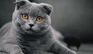 Minnoşluğu ve Uysallığı ile Herkesin Sahiplenmek İstediği Scottish Fold Cinsi Kedileri Yakından Tanıyalım!