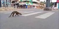 Sokağa Çıkma Yasağı İlan Edilen Hindistan Sokaklarında Nesli Tükenmekte Olan Misk Kedisi Ortaya Çıktı