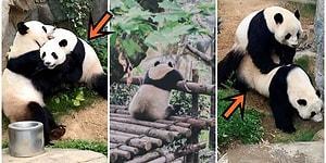 Hong Kong'da Bulunan Tema Parkındaki Pandalar 10 Yıllık Sürenin Ardından İlk Kez Karantina Döneminde Çiftleşti