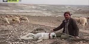 Sözleşmesi Bittiği İçin Hayvanlarla Vedalaşmak Zorunda Kalan Çoban