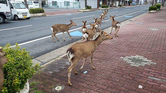 17. Japonya'nın sokaklarında geyikler gezmeye başlamış bile.