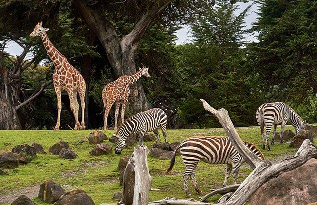 Her zaman tıklım tıklım olan hayvan bahçeleri koronavirüs salgınından dolayı şu anda bağış talep ediyorlar...