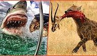 Doğanın Minnoş Ev Kedisi Değil, Parçalanmış Zebra Omurgası Olduğunu Gösteren Birbirinden Ürkütücü Kareler