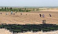 Ürünler İhtiyaç Sahiplerine Dağıtılacak: Ankara'da Belediye Atıl Arazilerde Tarıma Başladı