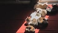 Gün Işığı Nereye Vurursa Oraya Yatan Kedilerin İçinizi Isıtacak Görüntüleri