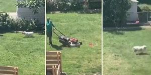 Çim Biçen İnsan Dostunu Frizbi Oynayabilmek İçin Darlayan Köpek