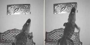 Karnı Acıkınca Bir Eve Giren Timsah Duvardaki Tabloda Yer Alan Kaplumbağayı Yemeye Çalıştı
