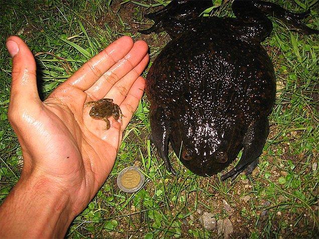 16. Neredeyse 3 kg ağırlığında olan ayrıca dünyanın en büyük ve en ağır kurbağalarından biri: