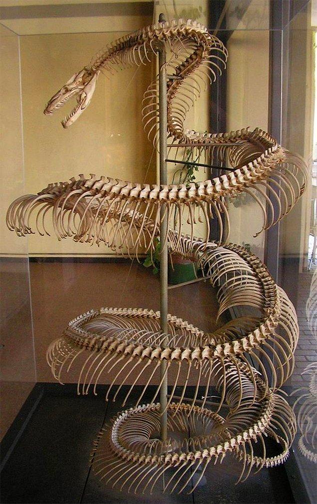 21. Neredeyse 9 metre uzuluğundaki anakonda yılanının iskeleti: