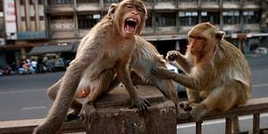 Hindistan'da Bir Grup Maymun Kovid-19 Hastalarının Kan Örneklerini Çaldı