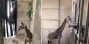 Yeni Doğan Yavrusunu Görmeye Gelen Baba Zürafanın Muhteşem Görüntüleri