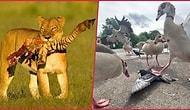 Doğanın Minnoş Bir Kedi Yavrusu Değil, Parçalanmış Zebra Gövdesi Olduğunu Gösteren Ürkütücü Kareler