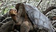 Çiftleşme Performansı ile Tek Başına Türünü Kurtaran Kaplumbağa Diego Emekliye Ayrıldı