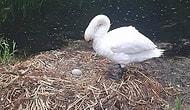 Yuvası Dağıtılıp, Yumurtaları Parçalanan Kuğu Üzüntüye Dayanamayarak Öldü