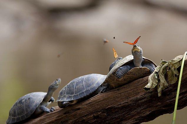 1. Amazon'da kelebekler kaplumbağaların gözyaşlarını içerek ihtiyaçları olan sodyumu alırlar.