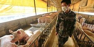 Yeni Bir Virüs Daha! Çin'de Keşfedilen Yeni Domuz Gribi Türü G4 EA H1N1 Nedir?
