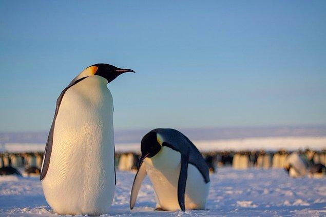 """""""Birisi bir penguen kolonisine rastlarsa ne olacağını sormuş. Penguenler bu durumda kaçmaya, bağırmaya ve kendilerinin ve diğer penguenlerin yumurtalarını ezmeye başlarlar. Sonra 1000 çift göz size bakıp 'salağa bak' diye düşünür."""""""