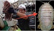Endonezya'da Okyanusun Yaklaşık Bin Metre Altında 'Dev Hamam Böceği' Keşfedildi!