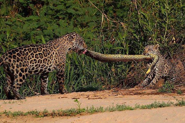 9. Anakonda için kavgaya tutuşan jaguarlar: