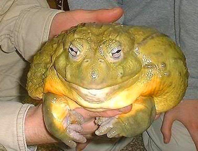 15. Yaklaşık 3.25 kilo olan ve 32 cm uzunluğundaki Goliath Afrika Boğa kurbağası: