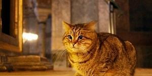 Ayasofya'nın Kedisi Gli Hastalandı: 'Kalabalıktan Uzak Bir Odada Yaşaması Gerekiyor'