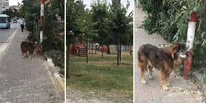 Parkta Oynayan Köpekleri Uzaktan İzleyen Sokak Köpeğinin İnsanın İçini Burkan Görüntüsü
