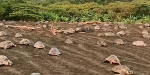 Yumurtalarını Bırakmak İçin Senkronize Bir Şekilde Sahile Çıkan Deniz Kaplumbağaları