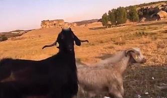 Sürü Halinde Yürürken 'Birini Kesip Yiyelim Bari' Diyen Adama Dönüp Bakan Keçi