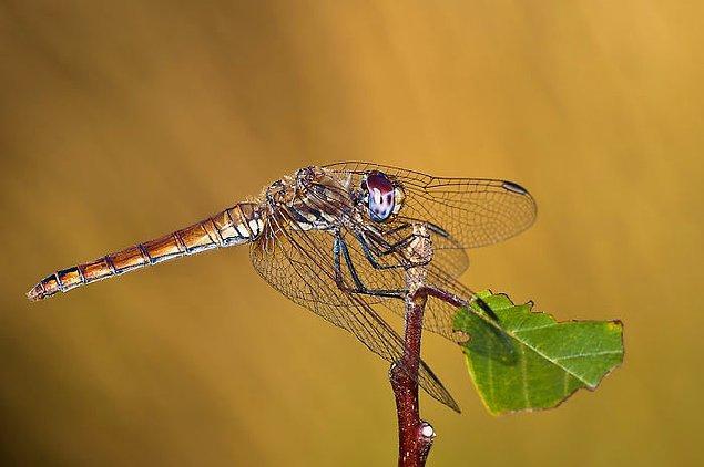 2. Dişi yusufçuklar tecavüzü önlemek için ölü taklidi yaparlar.