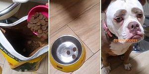 Sayıyla Verilen 3 Tane Mama Karşısında Mutsuzluğu Her Halinden Belli Olan Köpek