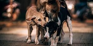 Belediye, Sokak Köpeklerinin Isırdığı Vatandaşa 3 Bin Lira Tazminat Ödeyecek