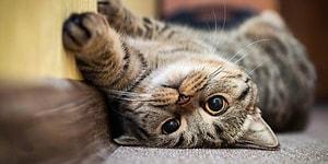 Hayvan Dostlarımız da Tehlikede: Koronavirüse Yakalanan Bir Kedi Nefes Almakta Zorlandığı İçin Uyutuldu