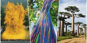 Sadece Dünyanın Belli Yerlerinde Bulunan Güzellikleri ile Sizi Büyüleyecek 18 Ağaç Türü
