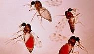 Adana'da 'Kör Eden' Sinek Tehlikesi: 'Sivrisineklerle Karıştırılmamalı'