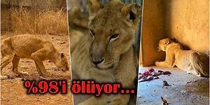 Zor Koşullar Altındaki Bir Hayvanat Bahçesine Kapatılmış Hayvanların Açlıktan Bir Deri Bir Kemik Kaldığını Görünce Vicdanınız Sızlayacak