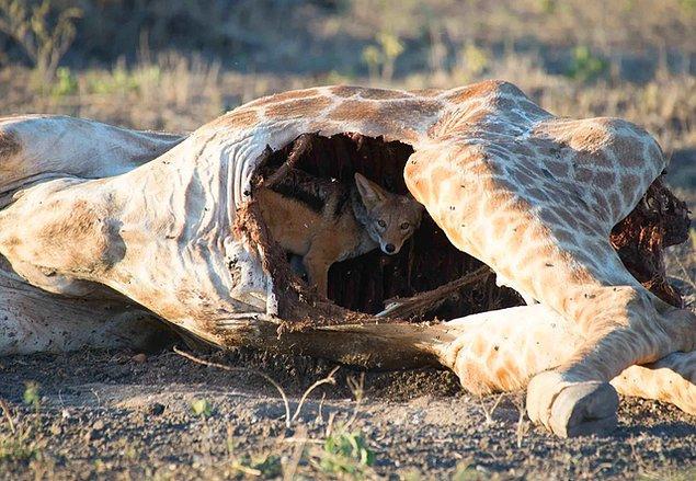 13. Bir zürafanın leşine giren çakal: