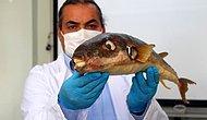 Balon Balığının Zehri Kansere Umut Olabilir: Gramı 1 Milyon Eurodan Satılıyor