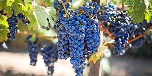 Uzaya Gönderilen Şaraplar ve Üzüm Asmaları Dünya'ya Geri Dönüyor