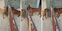 Arada Kapı Varken Birbirlerini Parçalayacak Gibi Havlayan Ancak Kapı Açılınca Sus Pus Olan Köpekler