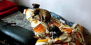 Hayvana Cinsel İstismar İddiasıyla Gözaltına Alındı: 3 Yavru Köpek Kurtarıldı