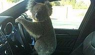 Zincirleme Trafik Kazasına Neden Olan Koala Direksiyonda Poz Verdi...